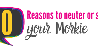 10 Reasons to Neuter/Spay Your Morkie