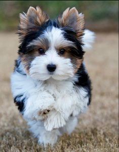 morkie dog running in the field