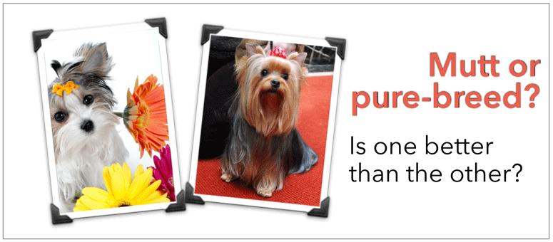 Morkies: Designer dog or mutt?