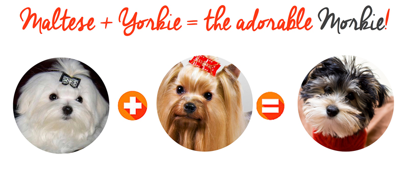 About Morkies Smart Affectionate Small Dogs That Dont Shed