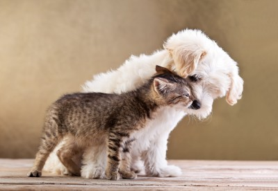Is your Morkie cat-friendly?