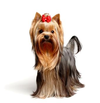 perky yorkie dog