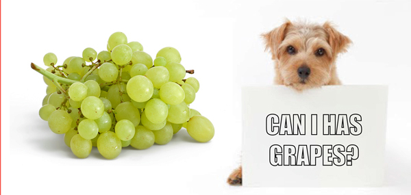 Killer Grapes! Just 6 can kill your small dog!