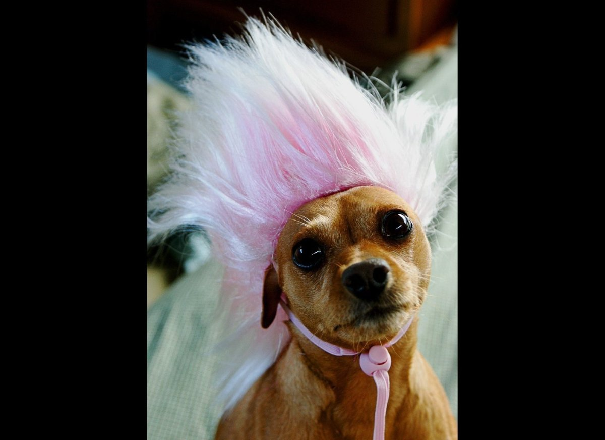 dog with punk hair for halloween