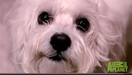 Maltese mix dog helps really sick kids