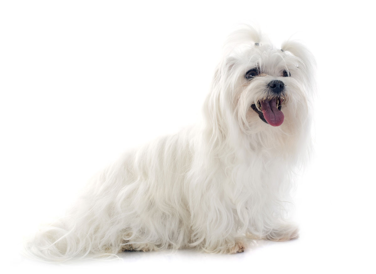 sitting maltese dog with her mouth open