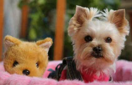 yorkie puppy training