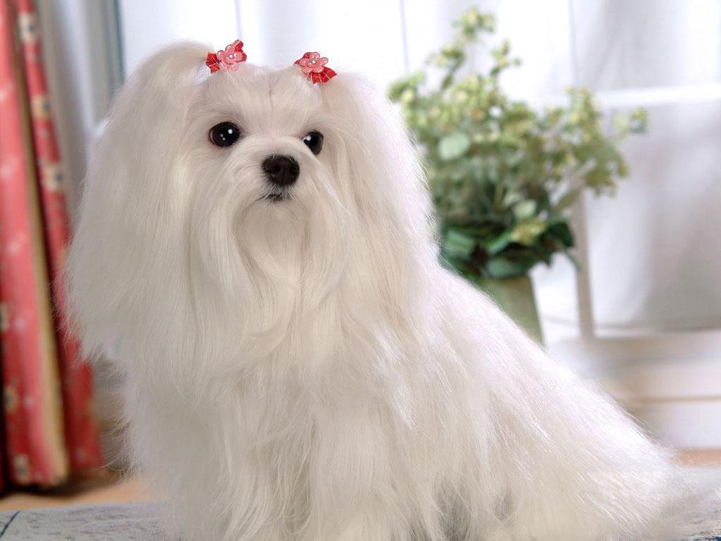 lovely maltese dog looking out