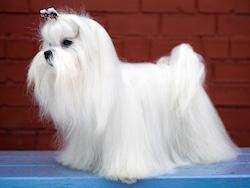 Maltese show dog