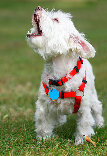 barking maltese dog