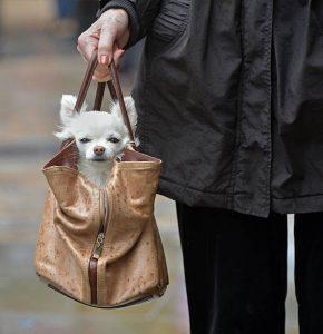 purse puppy