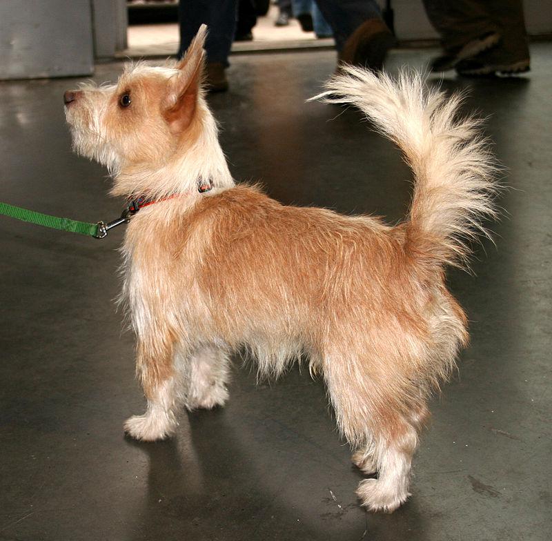 Podengo portugalski a new dog breed