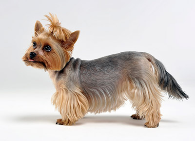 yorkie with very odd haircut