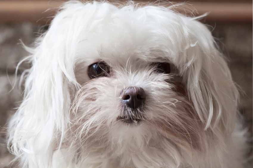 Natural treatments for stains under Morkie eyes