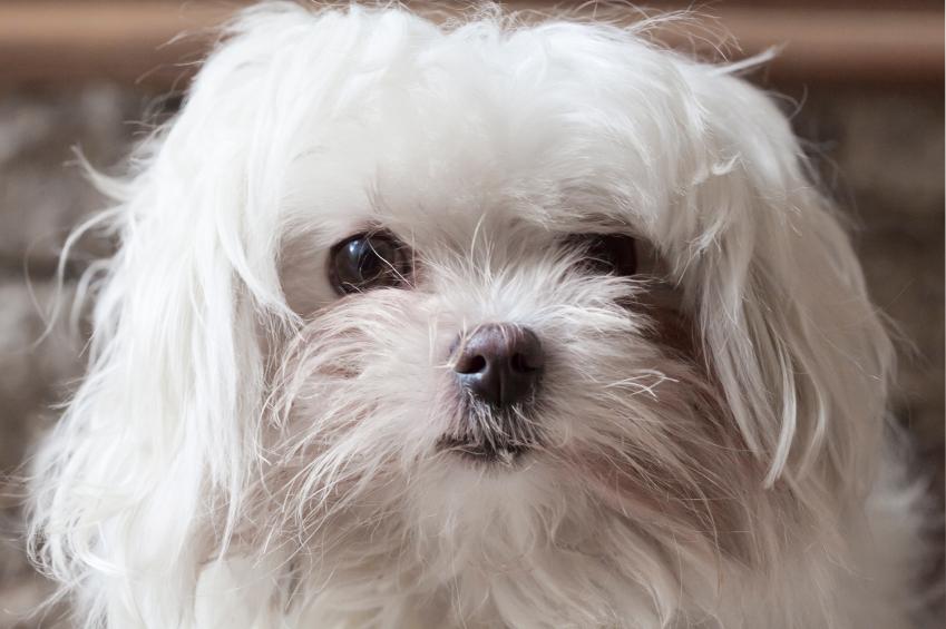 maltese dog's face close up