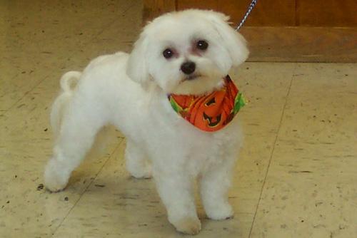 maltese puppy with cute neckerchief