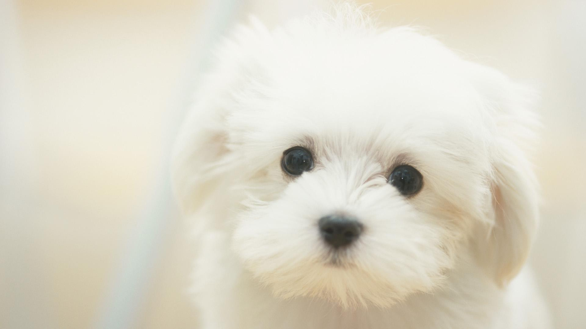 white maltese dog is very fluffy