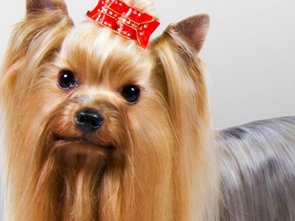 headshot of a glamourous yorkie