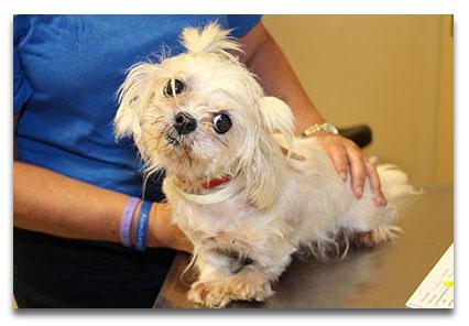 Cassie the little puppy mill survivor maltese dog
