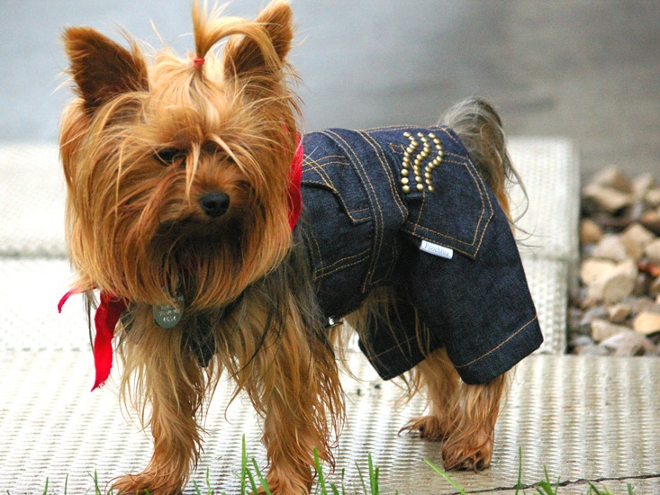 bella the yorkie in jeans