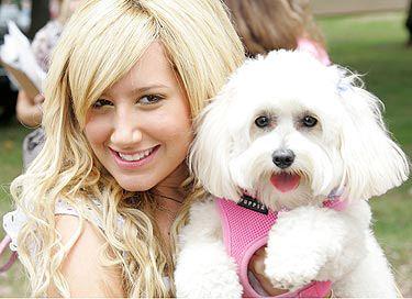 Ashley Tisdale's maltese dog