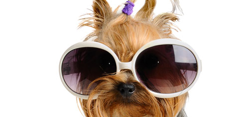yorkie designer sunglasses
