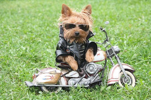 yorkie on toy motorcycle