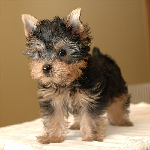 yorkie puppy posing for photo
