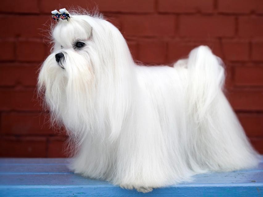 beautiful show dog Maltese dog