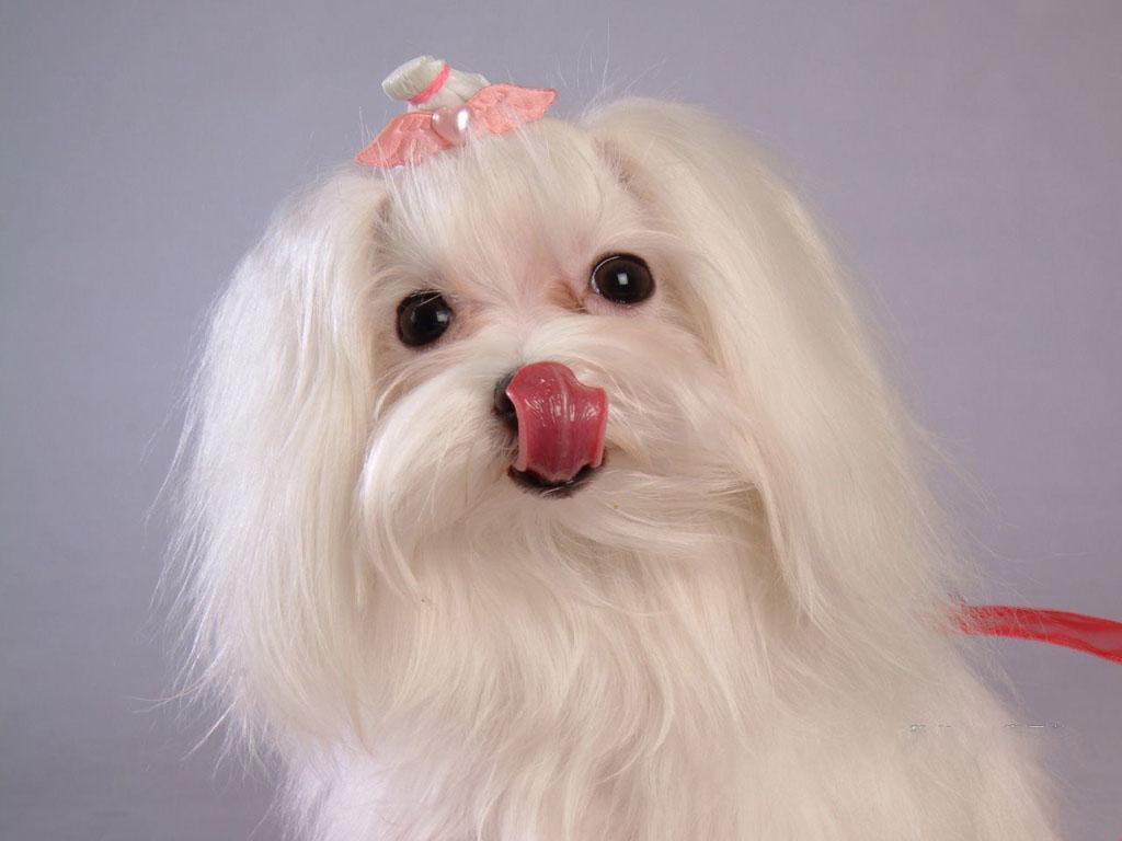 maltese in pink bow licking her lips