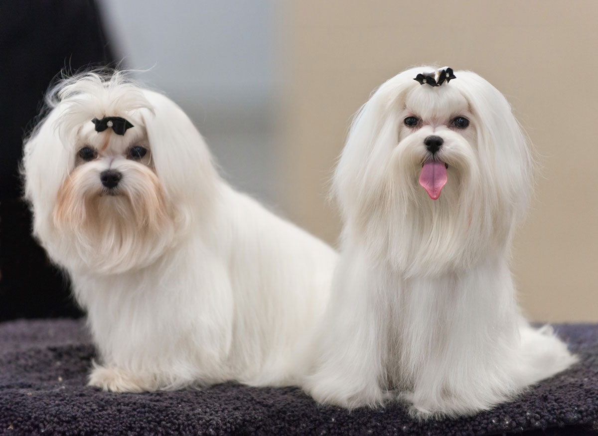 AKC Maltese Dog Show