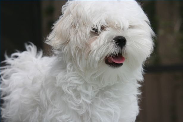 scruffy maltese with lots of hair