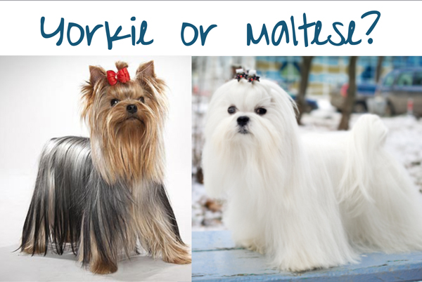 Is your Morkie more Yorkie or more Maltese?