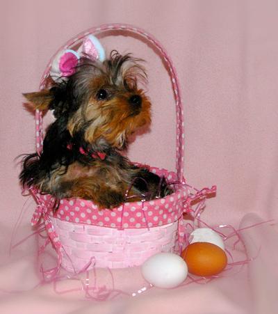 Easter Bunny Yorkie