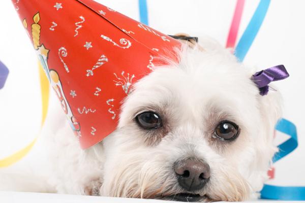 maltese dog at party