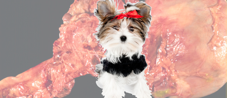 Small dogs and pancreatitis
