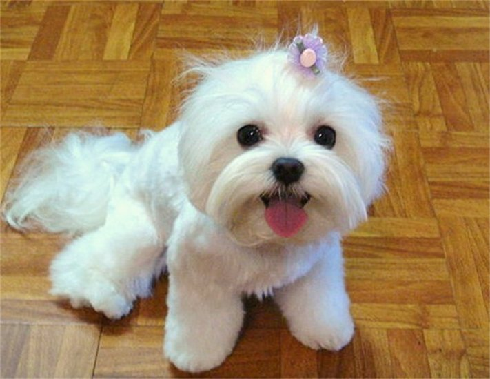Maltese puppy with little topknot