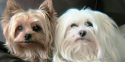 Morkies dogs together