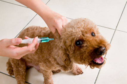 poodle getting a vaccination