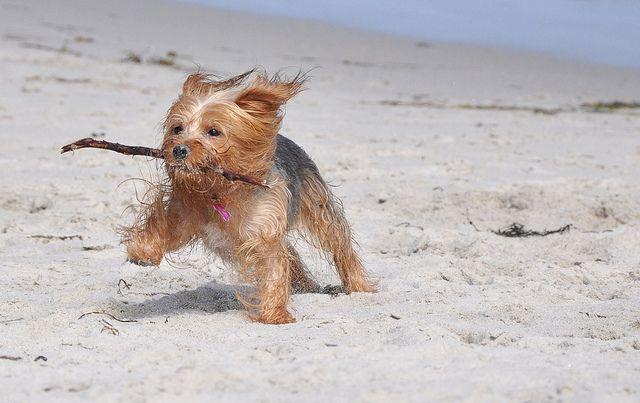 yorkie running on beach with stick