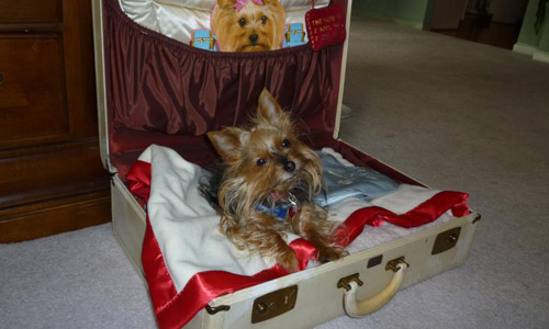 travelling yorkie waiting in a suitcase