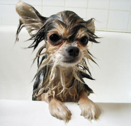 morkie wet in bath