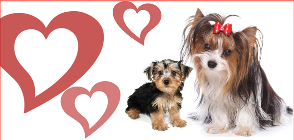 mother morkie and puppy
