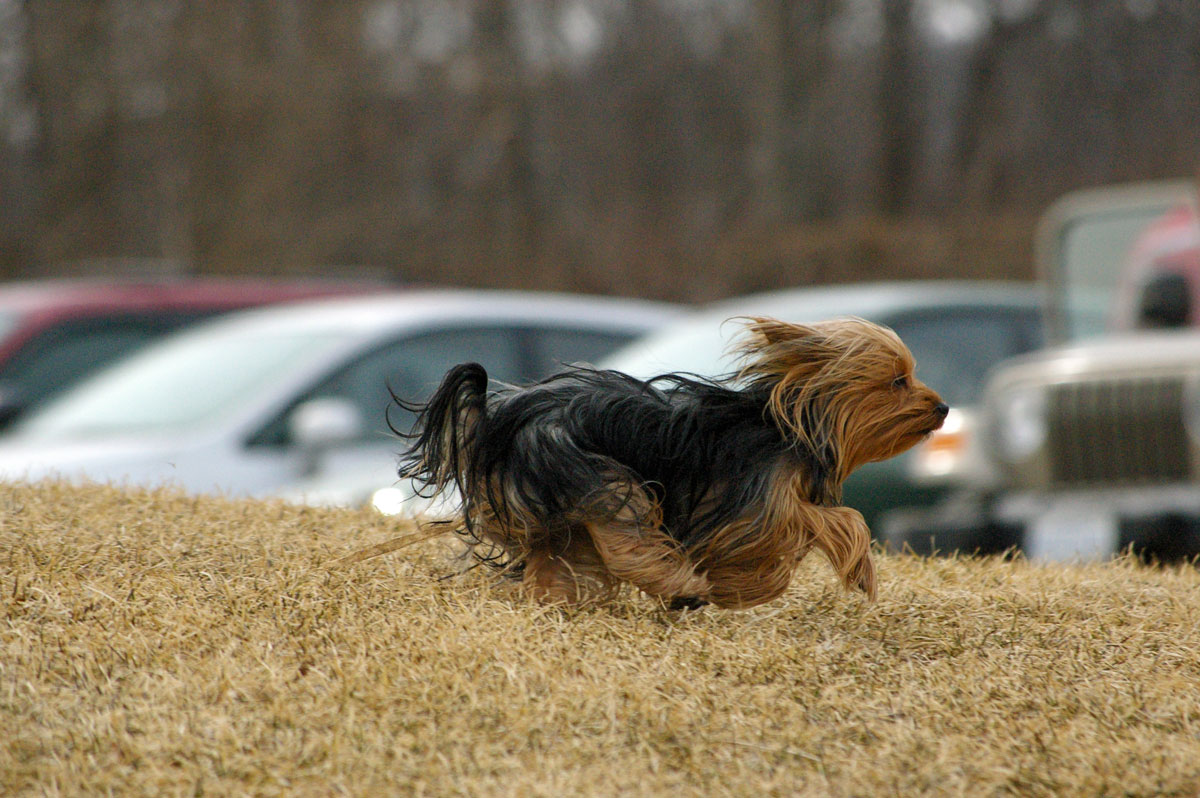 yorkshire terrier running real fast