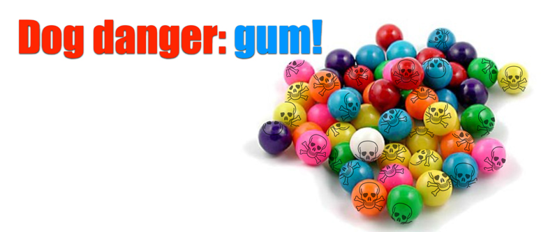 Killer gum – keep chewing gum away from your Morkie