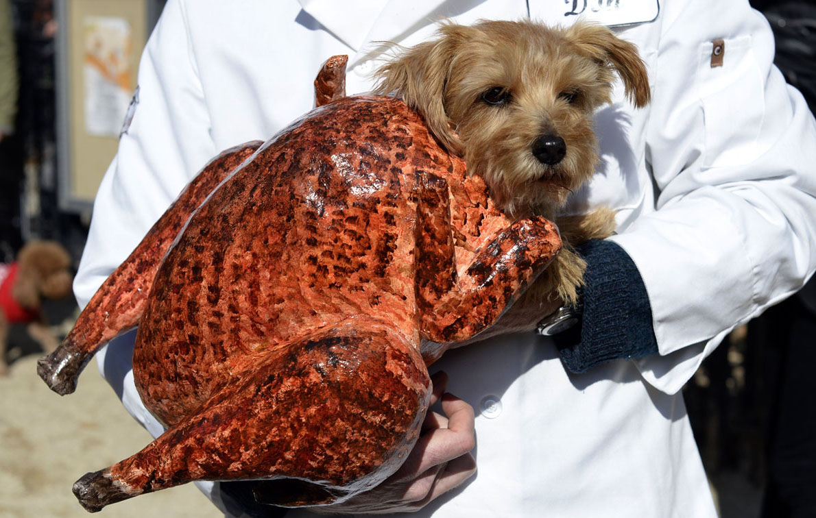 morkie dressed as a turkey for halloween