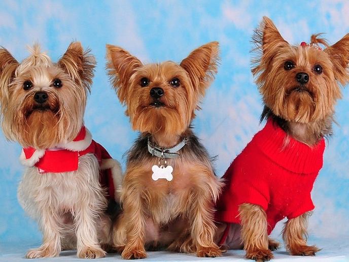 three cutie yorkies in a row