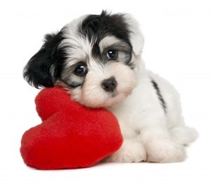 This little Morkie leaning on a heart shaped pillow is all ready for love.