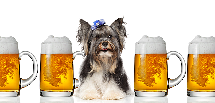 Skip the green beer for your Morkie!