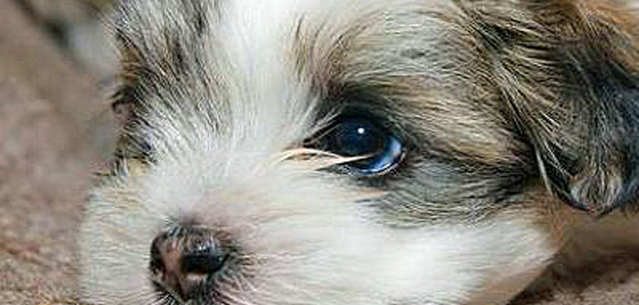 10 things your Morkie hates